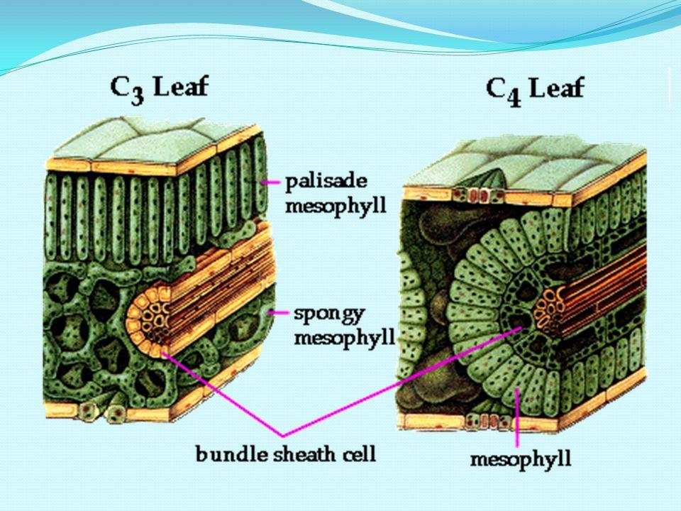 Epidermis Jaringan epidermis daun terdapat di permukaan atas dan bawah, terdiri dari selapis sel Sel berdinding tebal, tersusun rapat, dilapisi kutiku