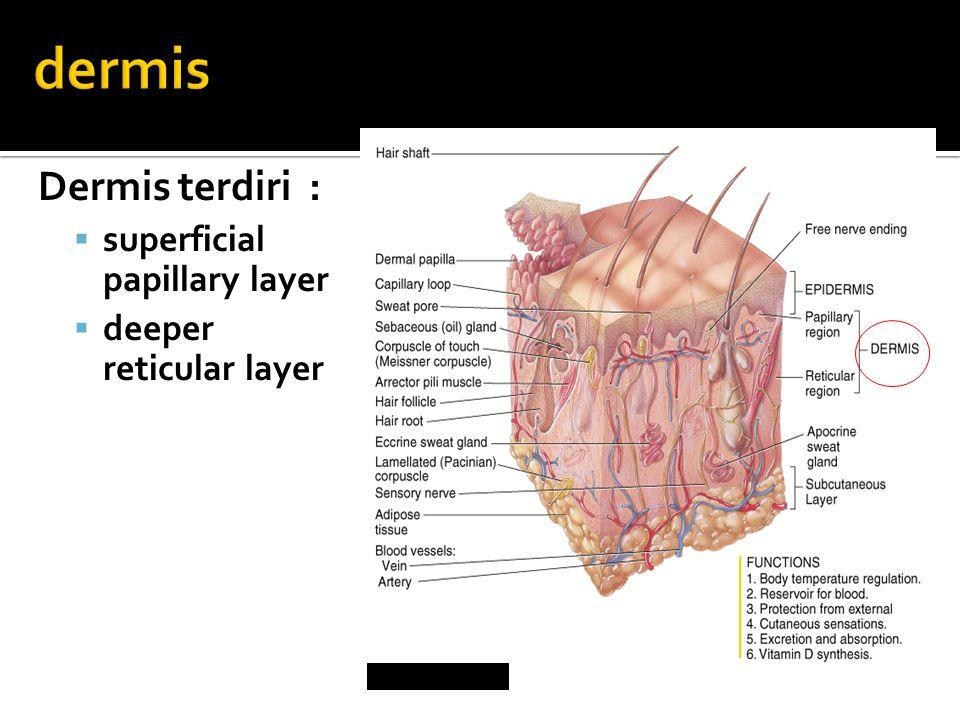Dermis terdiri :  superficial papillary layer  deeper reticular layer