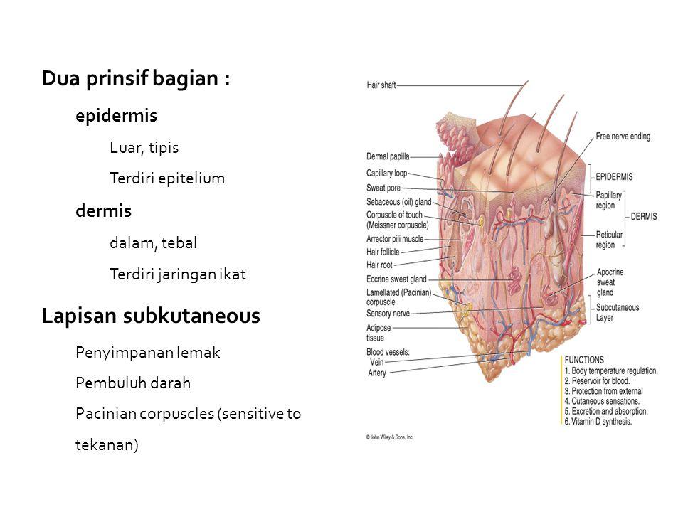 Dua prinsif bagian : epidermis Luar, tipis Terdiri epitelium dermis dalam, tebal Terdiri jaringan ikat Lapisan subkutaneous Penyimpanan lemak Pembuluh darah Pacinian corpuscles (sensitive to tekanan)