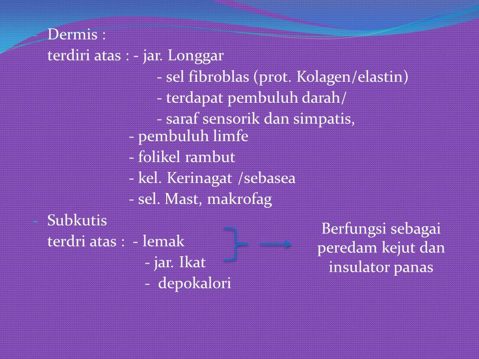 - Dermis : terdiri atas : - jar. Longgar - sel fibroblas (prot. Kolagen/elastin) - terdapat pembuluh darah/ - saraf sensorik dan simpatis, - pembuluh