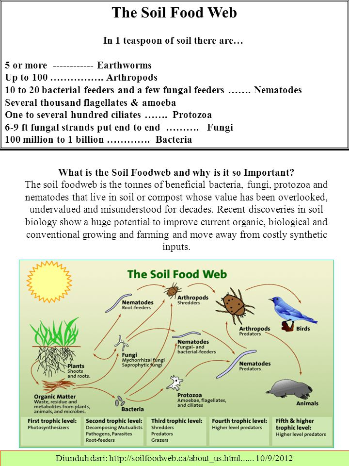 The Soil Food Web In 1 teaspoon of soil there are… 5 or more ------------ Earthworms Up to 100 ……………. Arthropods 10 to 20 bacterial feeders and a few