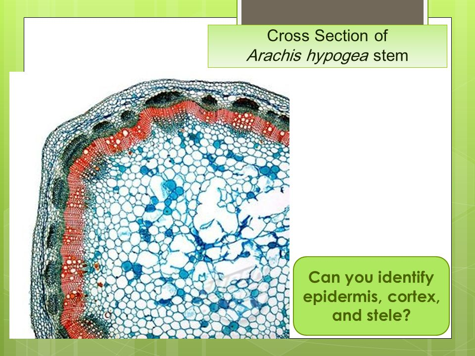 Cross Section of Arachis hypogea stem Can you identify epidermis, cortex, and stele?