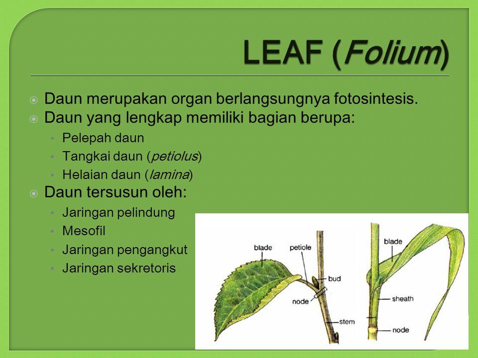  Daun merupakan organ berlangsungnya fotosintesis.  Daun yang lengkap memiliki bagian berupa: Pelepah daun Tangkai daun (petiolus) Helaian daun (lam