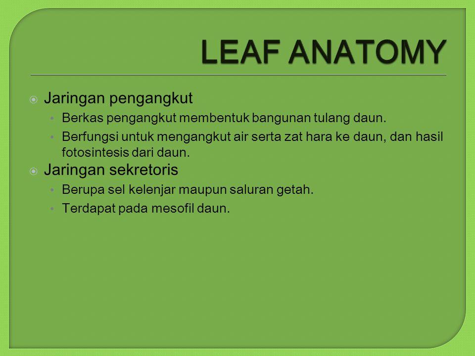  Jaringan pengangkut Berkas pengangkut membentuk bangunan tulang daun. Berfungsi untuk mengangkut air serta zat hara ke daun, dan hasil fotosintesis