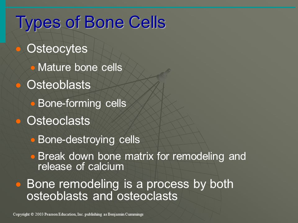 Types of Bone Cells Copyright © 2003 Pearson Education, Inc. publishing as Benjamin Cummings  Osteocytes  Mature bone cells  Osteoblasts  Bone-for