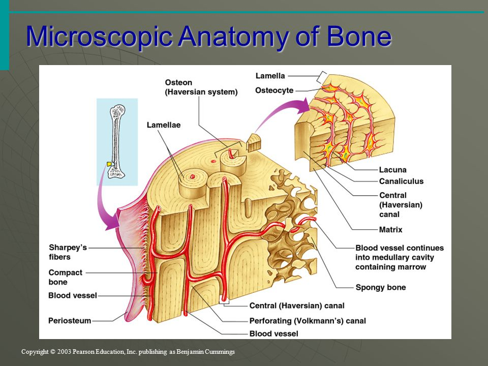 Based on the substance composition, the bone can be divided into hard bone and cartilage.