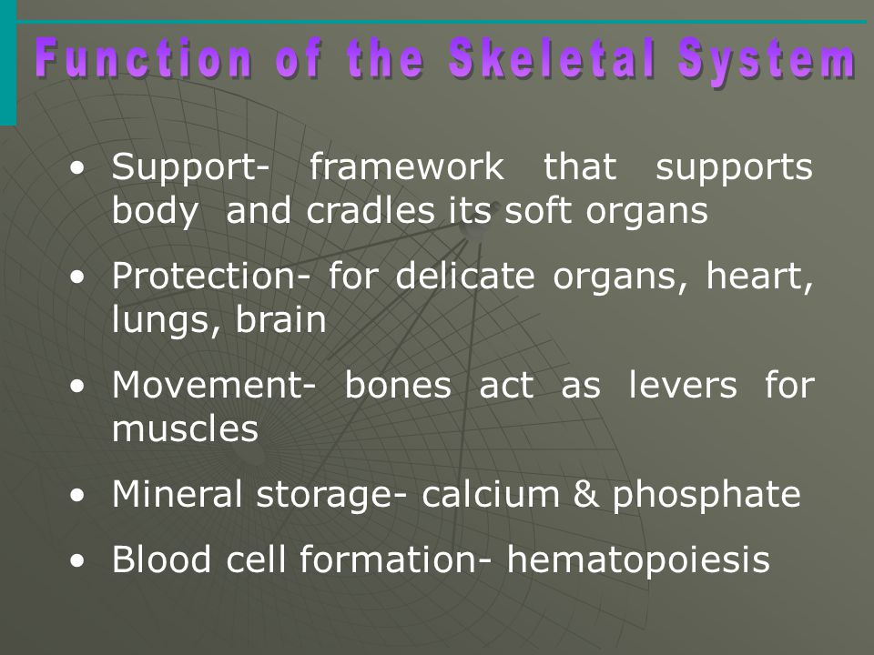 The Skeletal System  Parts of the skeletal system  Bones (skeleton)  Joints  Cartilages  Ligaments (bone to bone)(tendon=bone to muscle)  Divided into two divisions  Axial skeleton  Appendicular skeleton – limbs and girdle