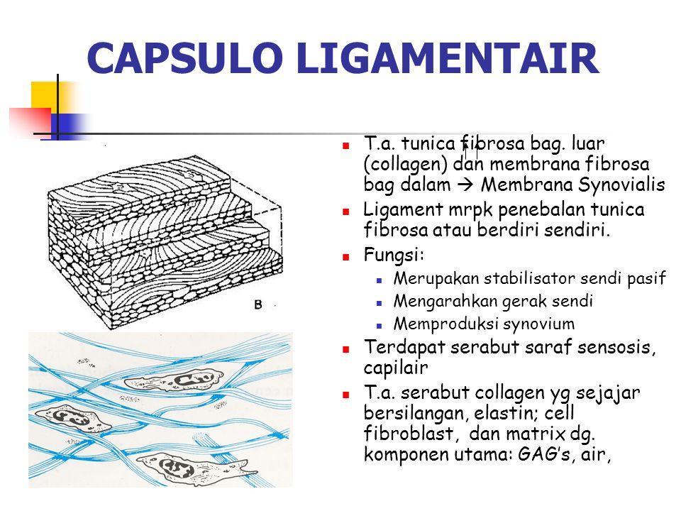 CAPSULO LIGAMENTAIR T.a. tunica fibrosa bag. luar (collagen) dan membrana fibrosa bag dalam  Membrana Synovialis Ligament mrpk penebalan tunica fibro