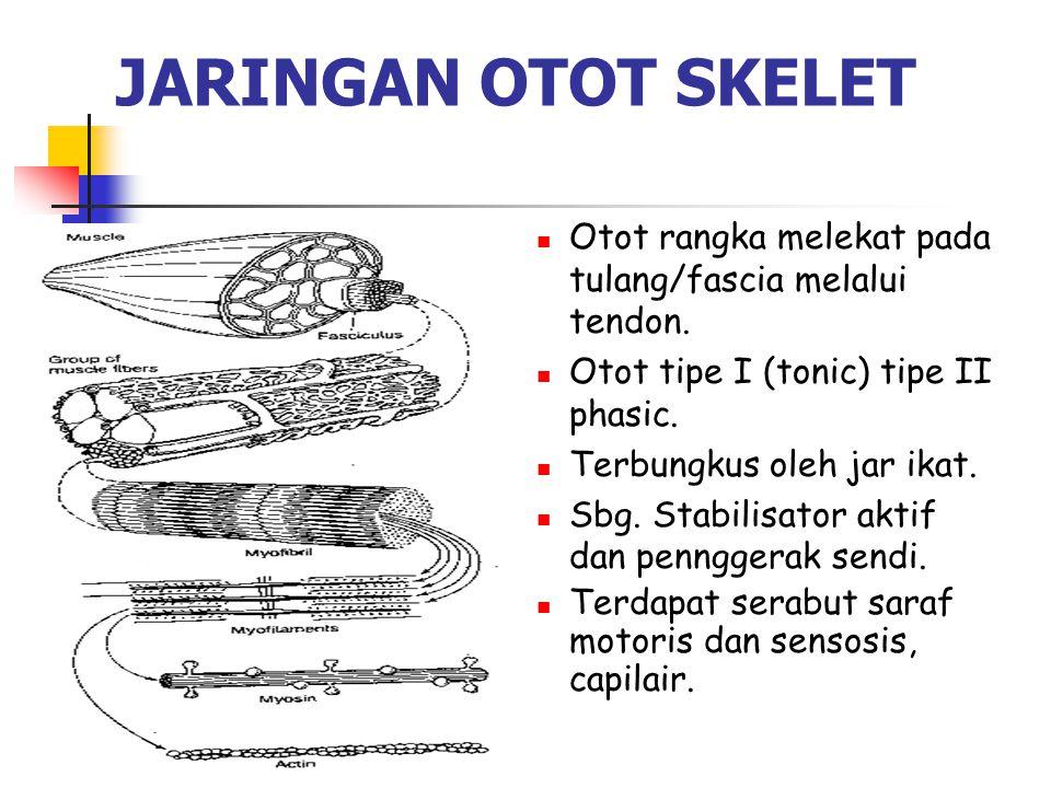 JARINGAN OTOT SKELET Otot rangka melekat pada tulang/fascia melalui tendon. Otot tipe I (tonic) tipe II phasic. Terbungkus oleh jar ikat. Sbg. Stabili