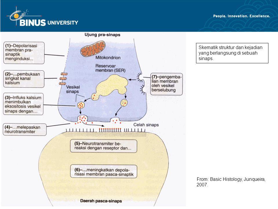 Skematik struktur dan kejadian yang berlangsung di sebuah sinaps. From: Basic Histology, Junqueira, 2007.