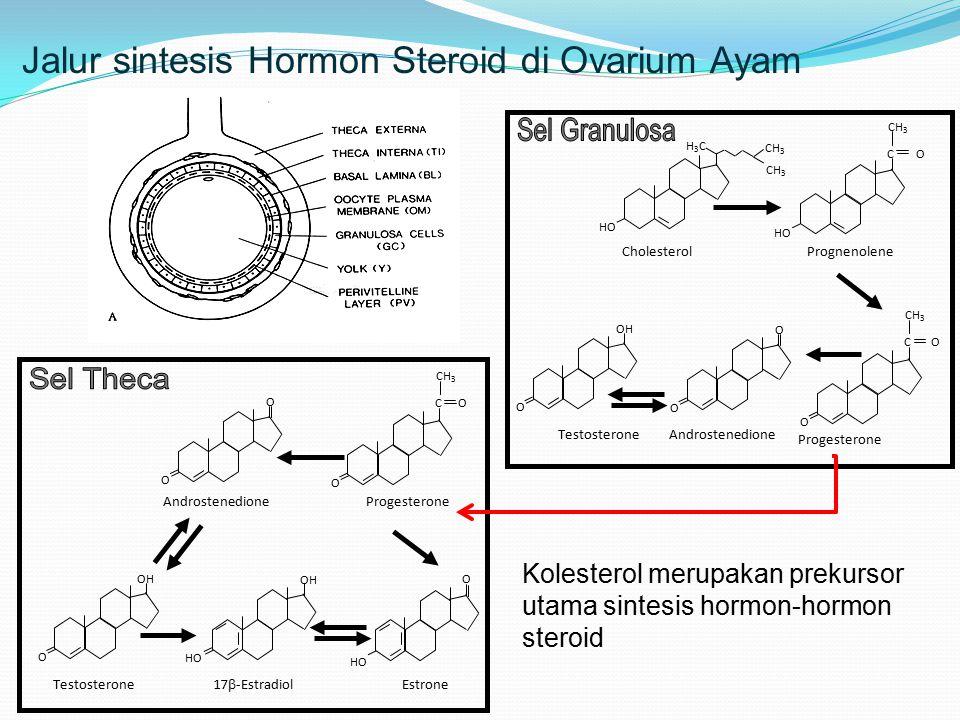 Jalur sintesis Hormon Steroid di Ovarium Ayam CH 3 H3CH3C HO C O CH 3 O O O O OH Cholesterol C O CH 3 HO Prognenolene Progesterone AndrostenedioneTestosterone HO O OH Androstenedione Estrone 17  -Estradiol Testosterone Progesterone C O CH 3 O O O HO O OH Kolesterol merupakan prekursor utama sintesis hormon-hormon steroid