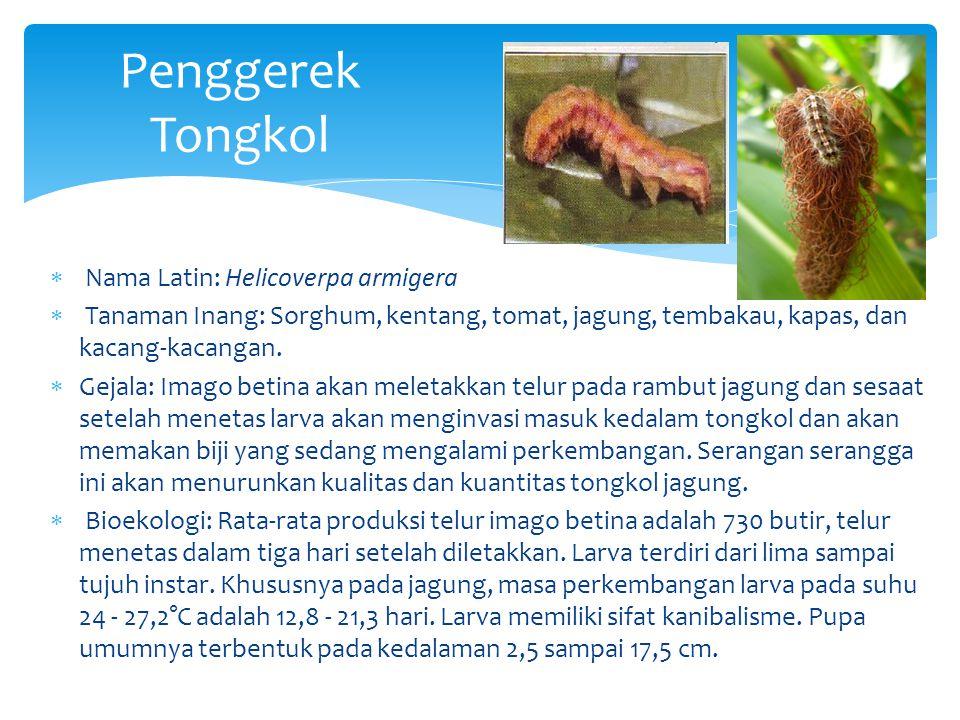 Penggerek Tongkol  Nama Latin: Helicoverpa armigera  Tanaman Inang: Sorghum, kentang, tomat, jagung, tembakau, kapas, dan kacang-kacangan.  Gejala: