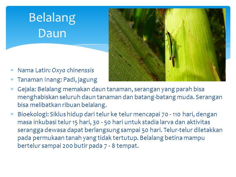 Belalang Daun  Nama Latin: Oxya chinenssis  Tanaman Inang: Padi, jagung  Gejala: Belalang memakan daun tanaman, serangan yang parah bisa menghabisk