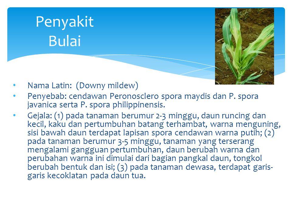 Penyakit Bulai Nama Latin: (Downy mildew) Penyebab: cendawan Peronosclero spora maydis dan P. spora javanica serta P. spora philippinensis. Gejala: (1