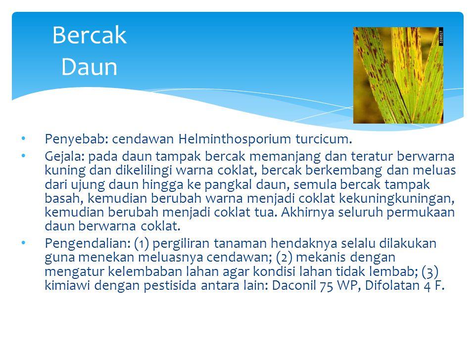 Bercak Daun Penyebab: cendawan Helminthosporium turcicum. Gejala: pada daun tampak bercak memanjang dan teratur berwarna kuning dan dikelilingi warna