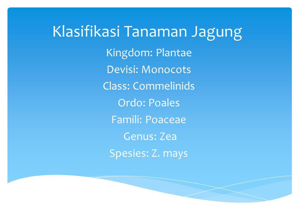 Klasifikasi Tanaman Jagung Kingdom: Plantae Devisi: Monocots Class: Commelinids Ordo: Poales Famili: Poaceae Genus: Zea Spesies: Z. mays