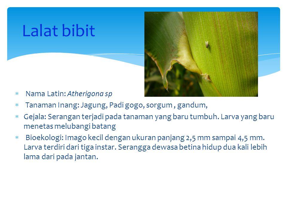 Lalat bibit  Nama Latin: Atherigona sp  Tanaman Inang: Jagung, Padi gogo, sorgum, gandum,  Gejala: Serangan terjadi pada tanaman yang baru tumbuh.