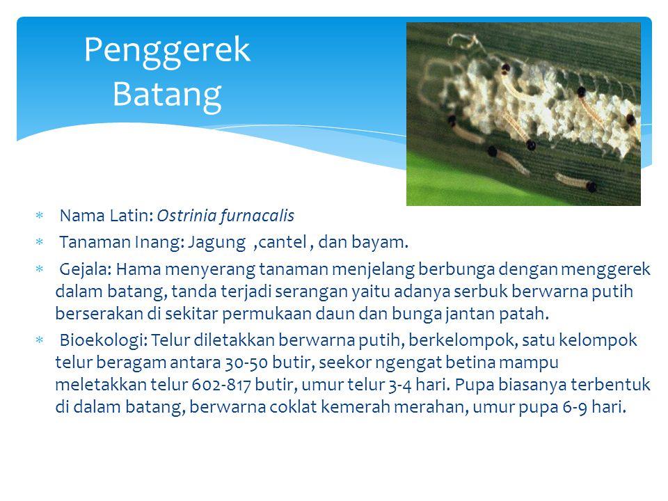 Penggerek Batang  Nama Latin: Ostrinia furnacalis  Tanaman Inang: Jagung,cantel, dan bayam.  Gejala: Hama menyerang tanaman menjelang berbunga deng