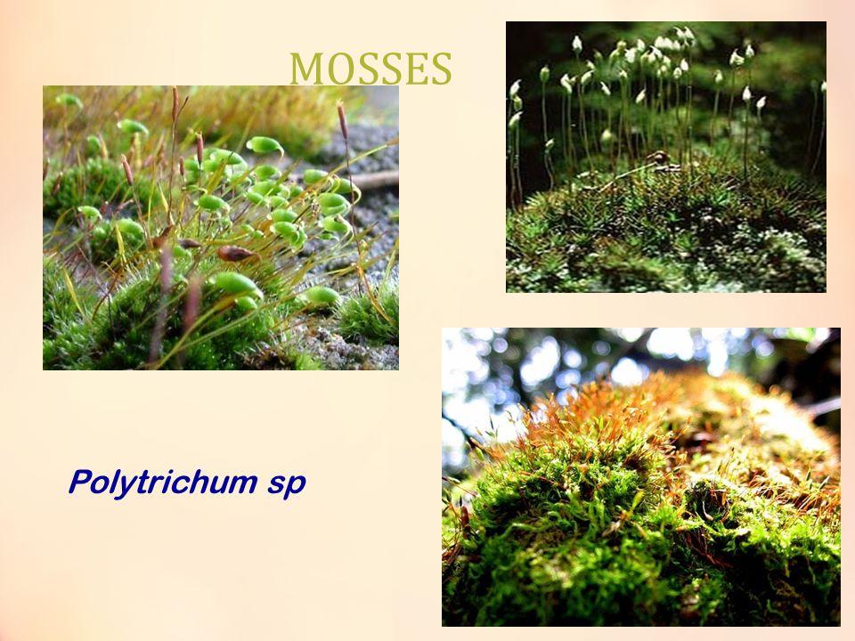 MOSSES Polytrichum sp