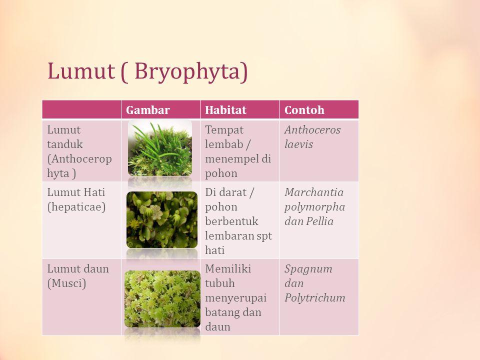 Lumut ( Bryophyta) GambarHabitatContoh Lumut tanduk (Anthocerop hyta ) Tempat lembab / menempel di pohon Anthoceros laevis Lumut Hati (hepaticae) Di d