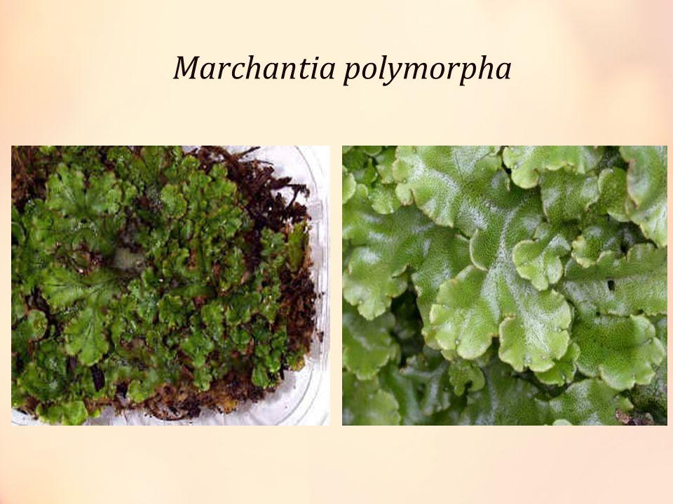 Tumbuhan berbiji (Spermatophyta) Memiliki akar, batang dan daun sejati dan dpt menghasilkan biji.