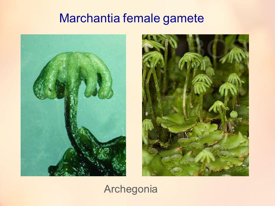 Archegonia Marchantia female gamete
