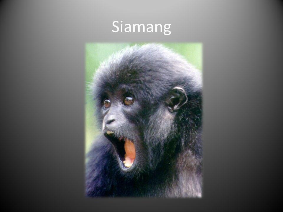 Siamang