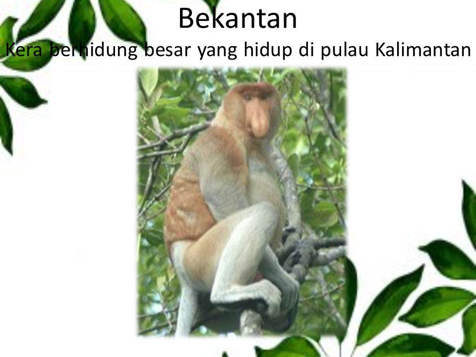 Bekantan Kera berhidung besar yang hidup di pulau Kalimantan