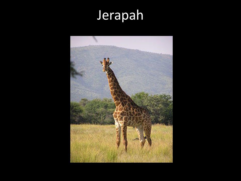 Jerapah