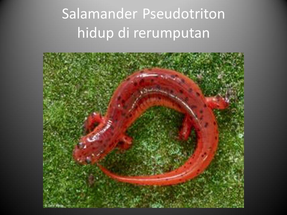 Salamander Pseudotriton hidup di rerumputan