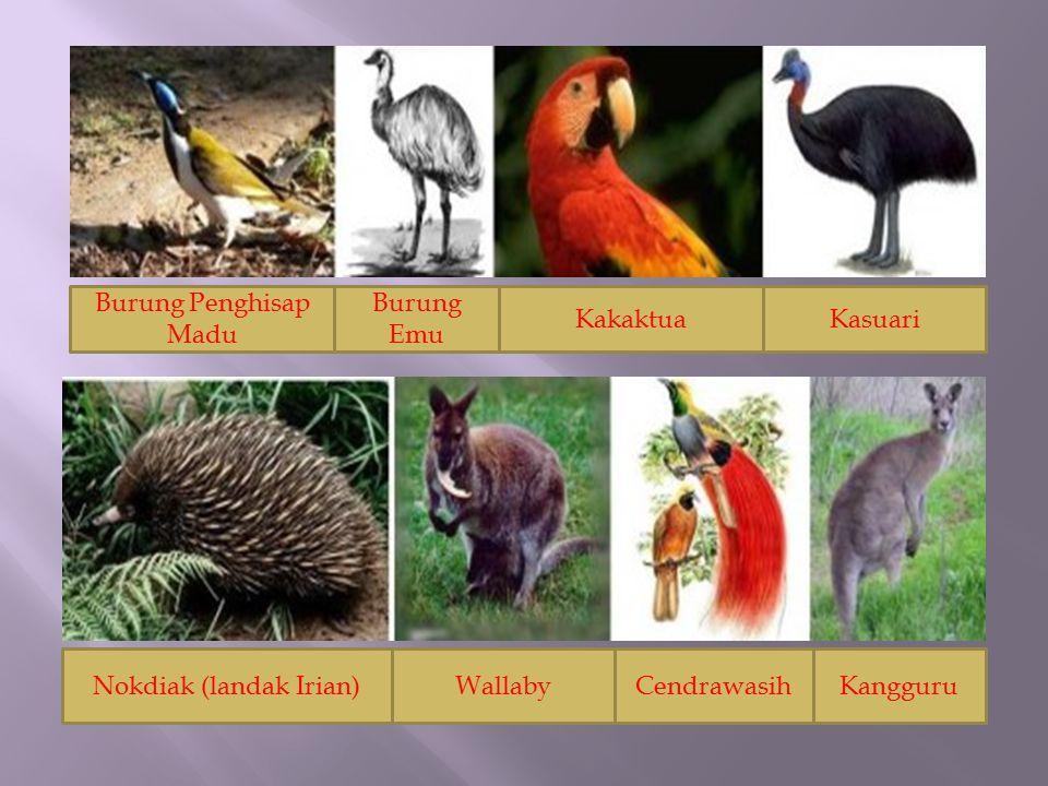 Burung Penghisap Madu Burung Emu KakaktuaKasuari Nokdiak (landak Irian)WallabyCendrawasihKangguru
