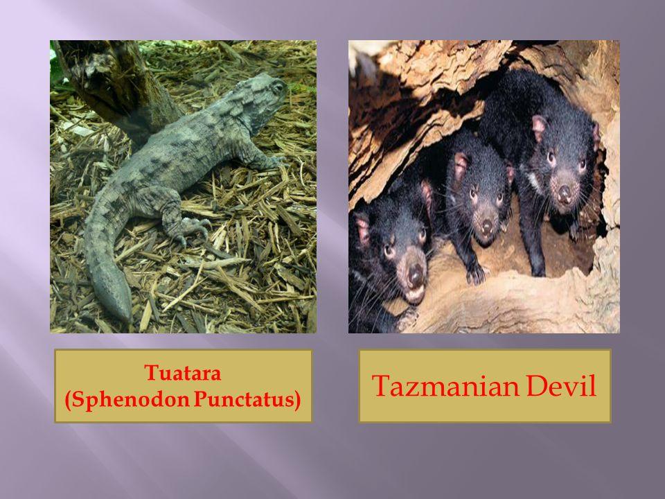 Tuatara (Sphenodon Punctatus) Tazmanian Devil