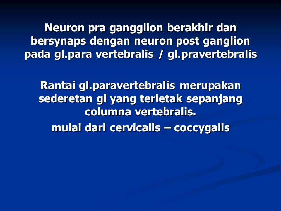 Neuron pra gangglion berakhir dan bersynaps dengan neuron post ganglion pada gl.para vertebralis / gl.pravertebralis Rantai gl.paravertebralis merupak