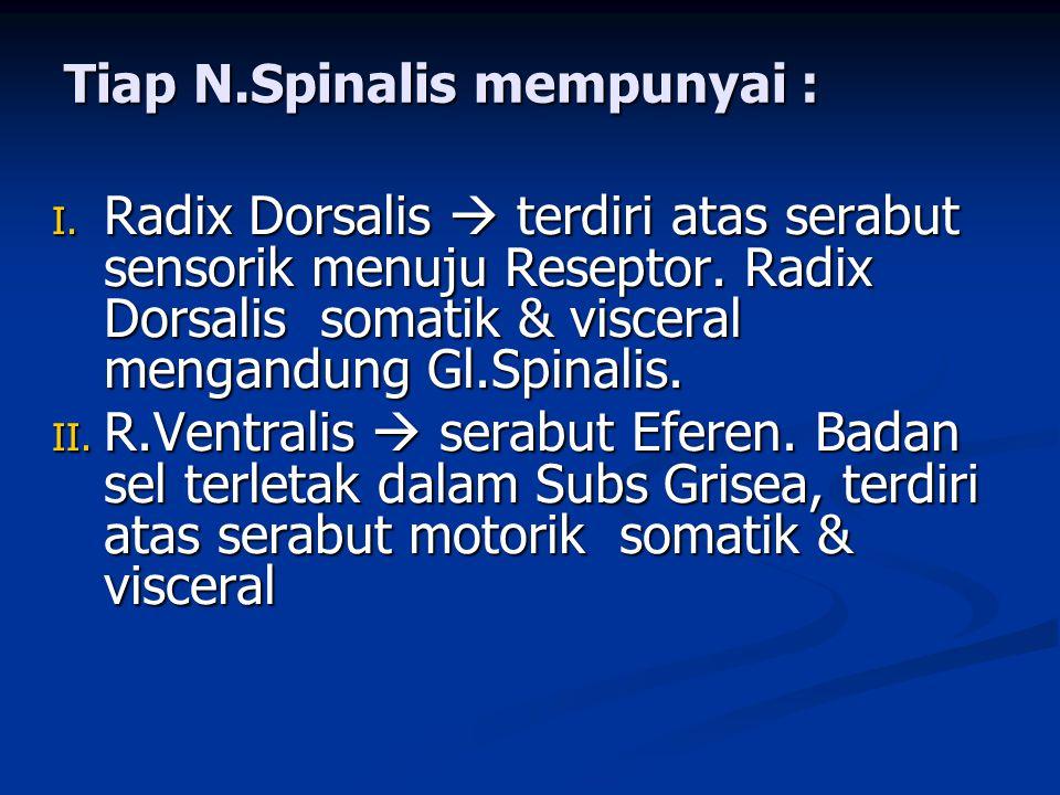 I. Radix Dorsalis  terdiri atas serabut sensorik menuju Reseptor. Radix Dorsalis somatik & visceral mengandung Gl.Spinalis. II. R.Ventralis  serabut