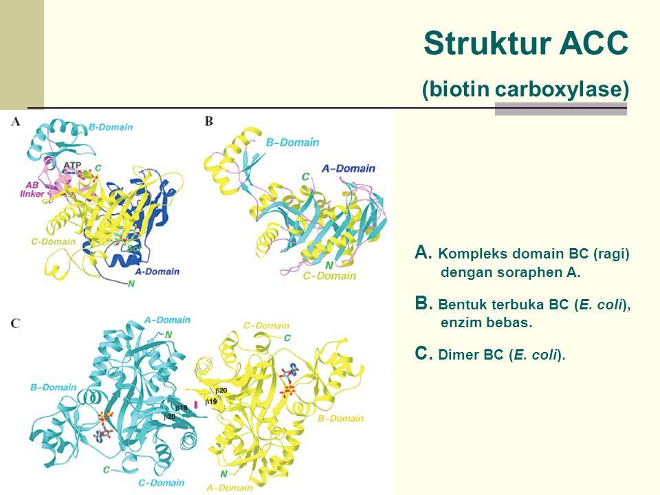 A. Kompleks domain BC (ragi) dengan soraphen A. B. Bentuk terbuka BC (E. coli), enzim bebas. C. Dimer BC (E. coli). Struktur ACC (biotin carboxylase)