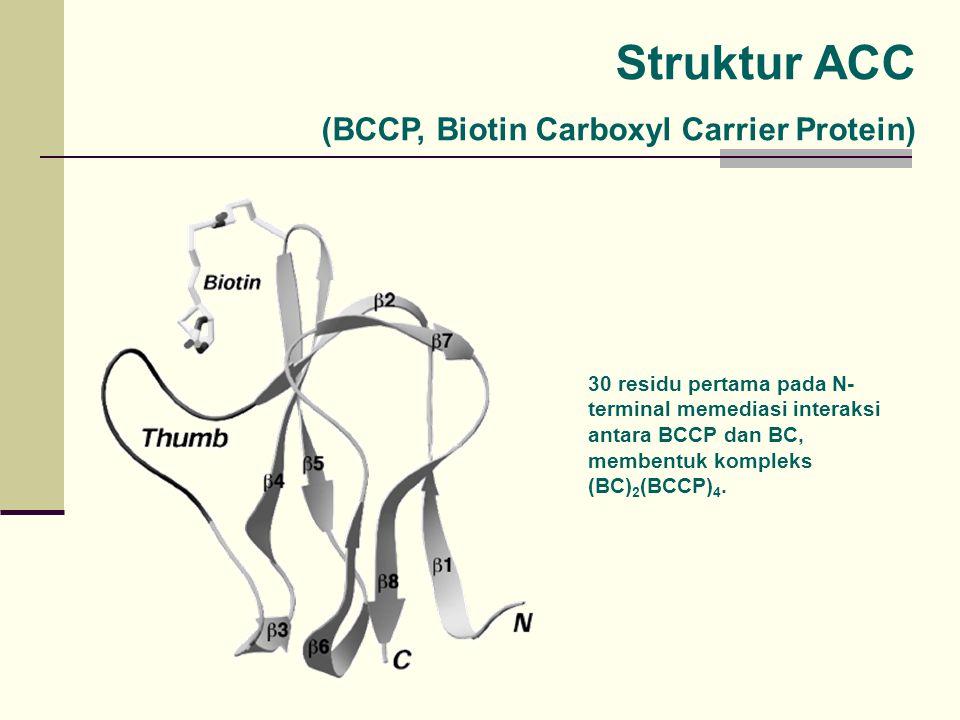 Struktur ACC (BCCP, Biotin Carboxyl Carrier Protein) 30 residu pertama pada N- terminal memediasi interaksi antara BCCP dan BC, membentuk kompleks (BC) 2 (BCCP) 4.