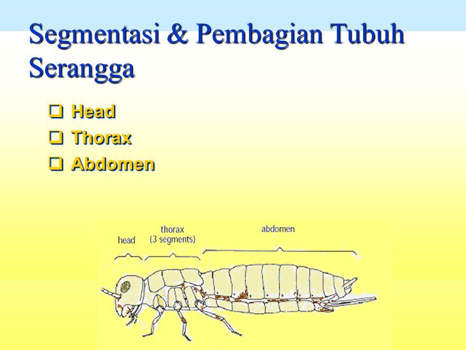 Segmentasi & Pembagian Tubuh Serangga  Head  Thorax  Abdomen  Head  Thorax  Abdomen