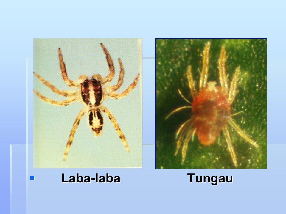 Arthropoda Sub Klas: Acari Famili : Eriophyidae Tetranychidae Tarsonemidae Tydeidae Acaridae Klas Arachnida Contoh : Aceria sp.