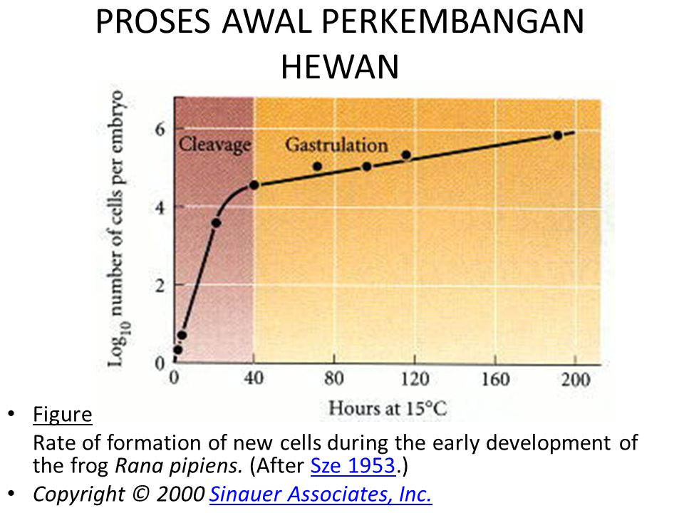 PROSES AWAL PERKEMBANGAN HEWAN Figure 8.1 Rate of formation of new cells during the early development of the frog Rana pipiens. (After Sze 1953.)Sze 1