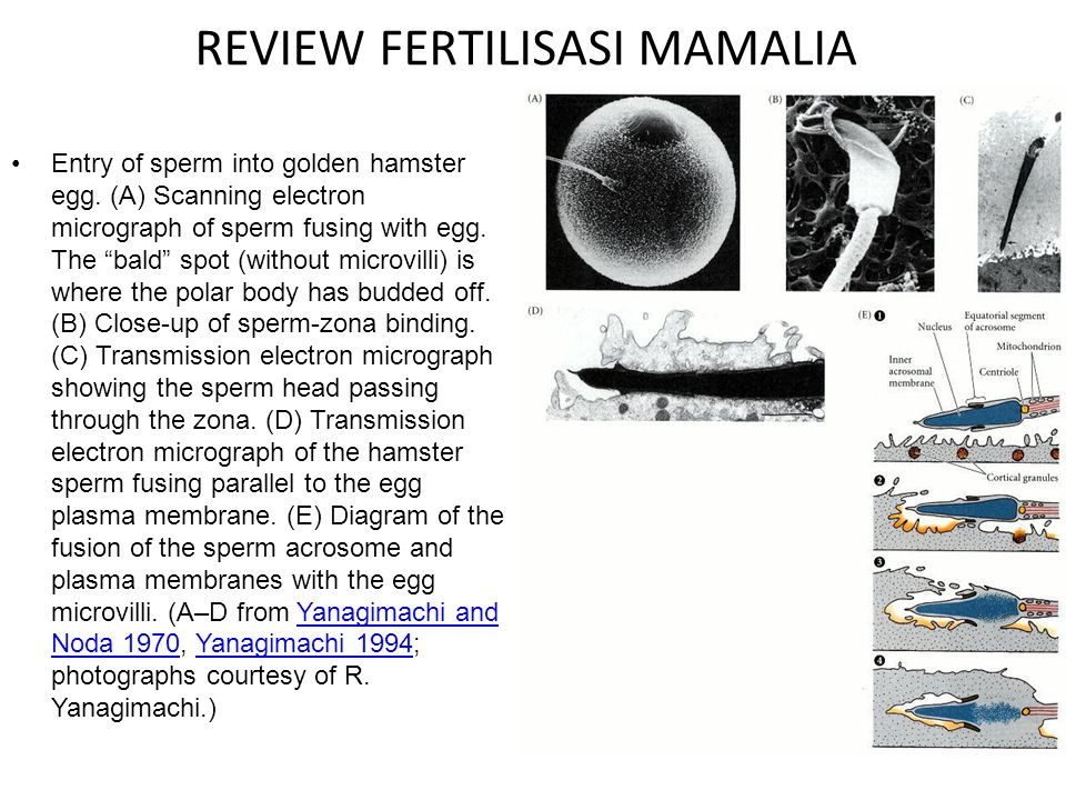 "REVIEW FERTILISASI MAMALIA Entry of sperm into golden hamster egg. (A) Scanning electron micrograph of sperm fusing with egg. The ""bald"" spot (without"