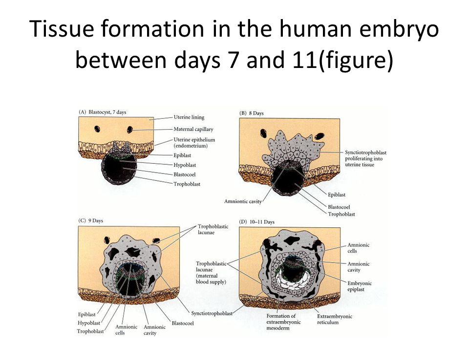 Tissue formation in the human embryo between days 7 and 11(expl.