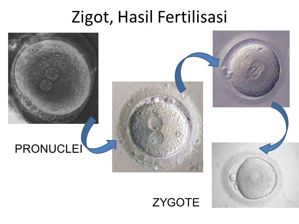 Apa yang kemudian terjadi dengan Zigot ? Pembelahan (CLEAVAGE)
