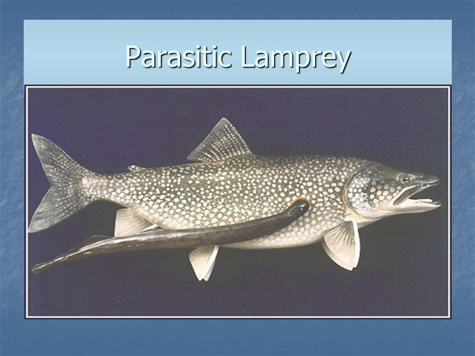 Parasitic Lamprey