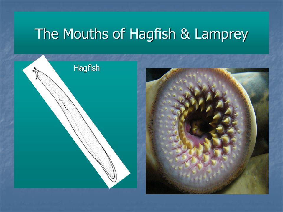 The Mouths of Hagfish & Lamprey Hagfish
