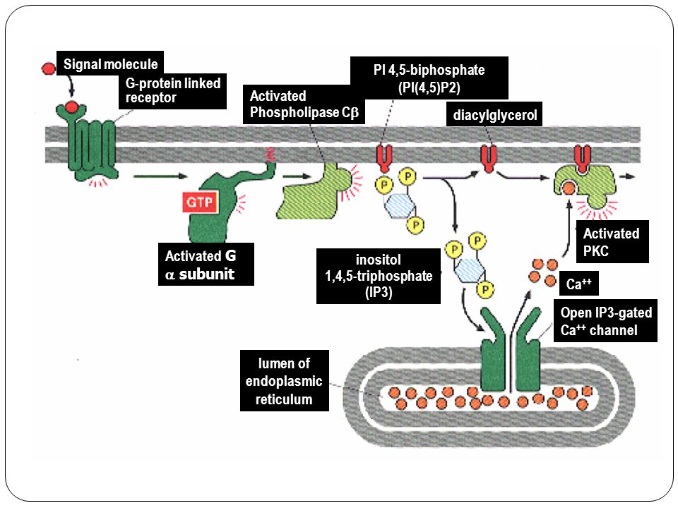lumen of endoplasmic reticulum Activated G  subunit PI 4,5-biphosphate (PI(4,5)P2) inositol 1,4,5-triphosphate (IP3) G-protein linked receptor Open IP3-gated Ca ++ channel Activated Phospholipase C  Activated PKC diacylglycerol Signal molecule Ca ++