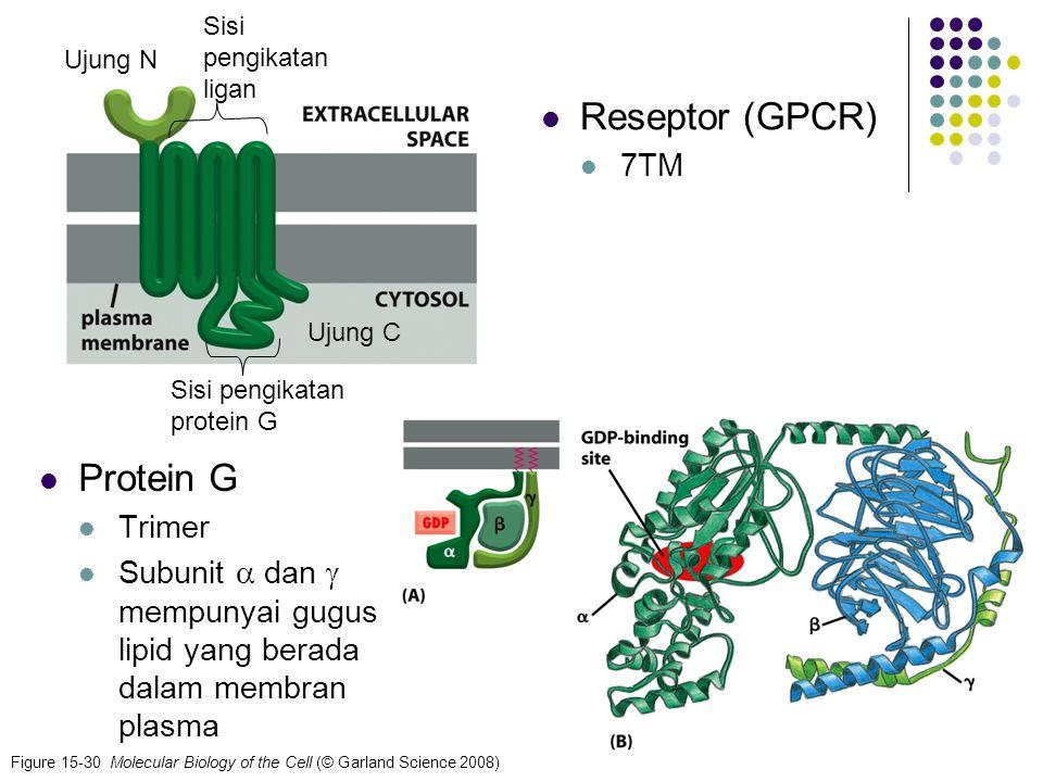 12 Figure 15-30 Molecular Biology of the Cell (© Garland Science 2008) Protein G Trimer Subunit  dan  mempunyai gugus lipid yang berada dalam membra