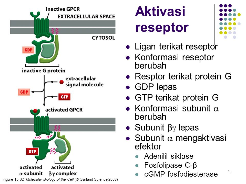 13 Figure 15-32 Molecular Biology of the Cell (© Garland Science 2008) Aktivasi reseptor Ligan terikat reseptor Konformasi reseptor berubah Resptor te