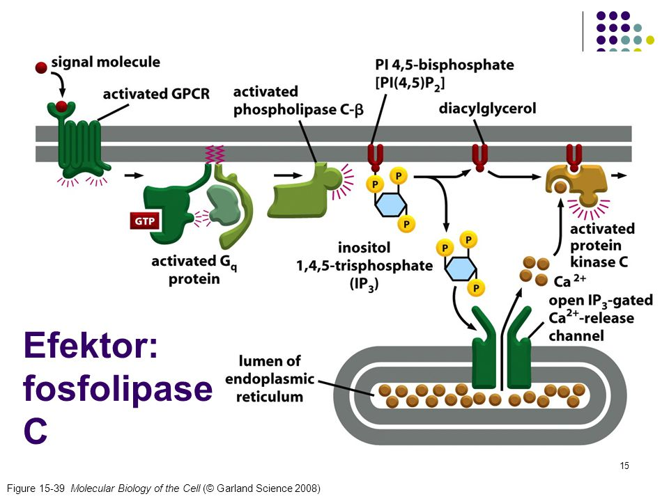 15 Figure 15-39 Molecular Biology of the Cell (© Garland Science 2008) Efektor: fosfolipase C