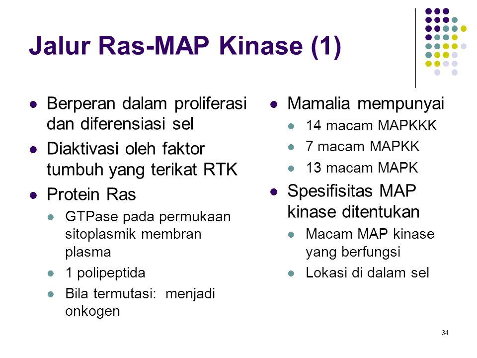 34 Jalur Ras-MAP Kinase (1) Berperan dalam proliferasi dan diferensiasi sel Diaktivasi oleh faktor tumbuh yang terikat RTK Protein Ras GTPase pada per