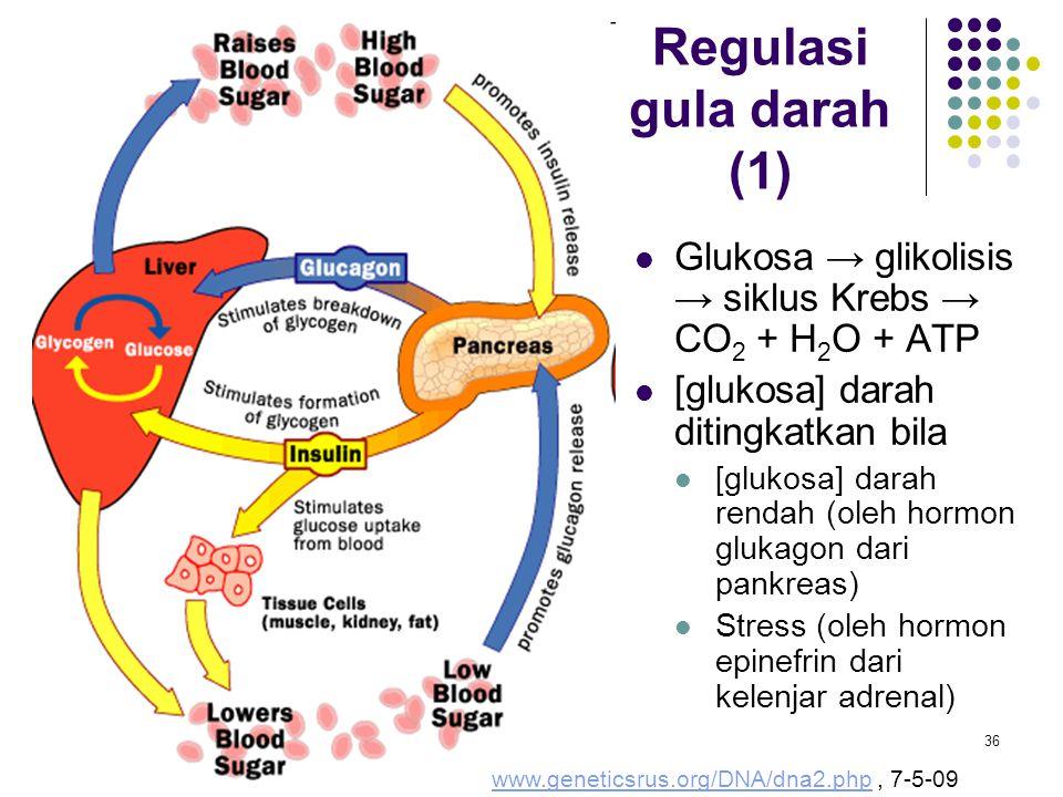36 Glukosa → glikolisis → siklus Krebs → CO 2 + H 2 O + ATP [glukosa] darah ditingkatkan bila [glukosa] darah rendah (oleh hormon glukagon dari pankre